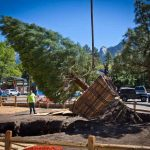 Three sequoias transferred to Idypark