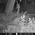 Are mountain lions endangered?