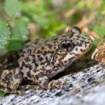 San Diego Zoo working to restore Mountain Yellow-legged Frogs to their mountain habitat
