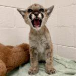 Rescued mountain lion seeking name